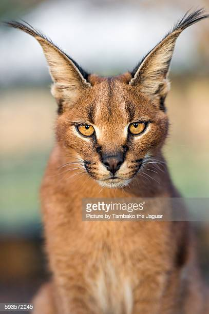 Portrait of a serious caracal