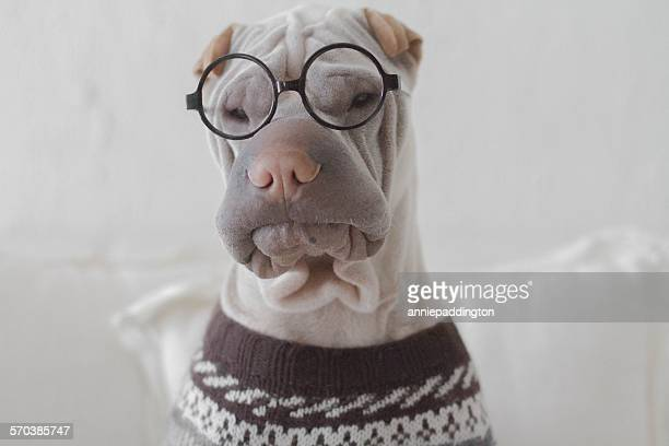 Portrait of a shar pei dog looking intellectual