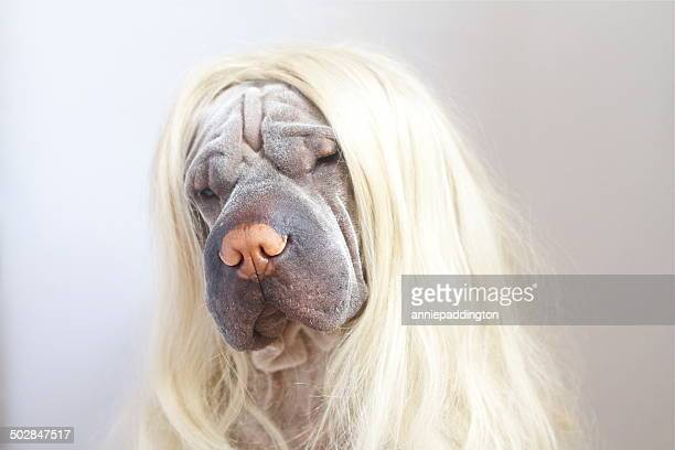 Portrait of a Shar pei dog wearing long blonde wig