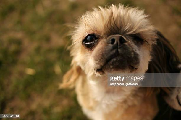 Portrait of a Shih tzu rescue dog with one eye