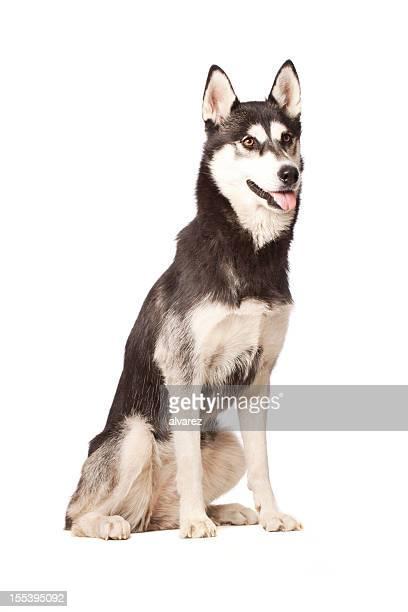 Portrait of a Siberian Husky