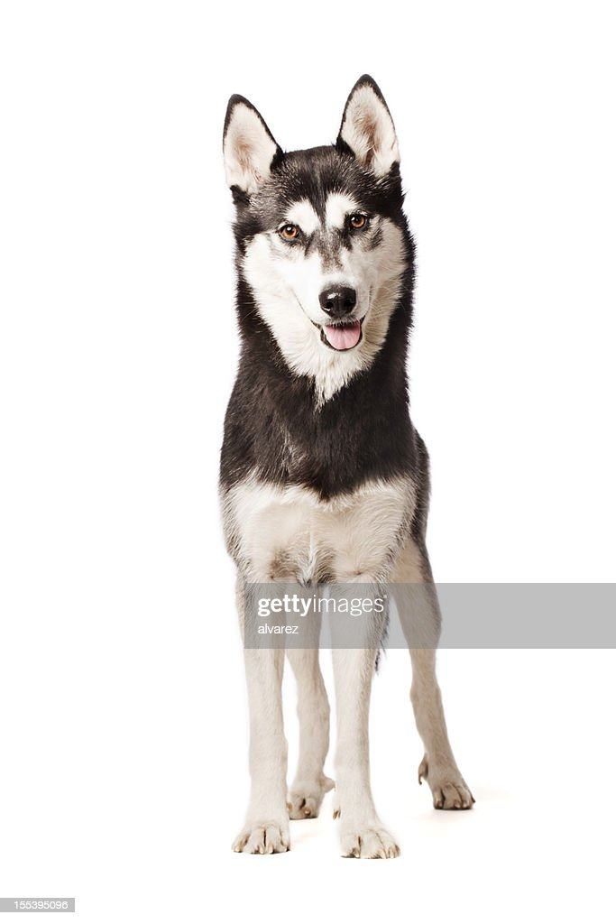 Portrait of a Siberian Husky : Stock Photo