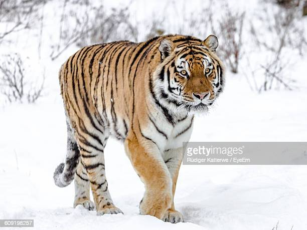 Portrait Of A Siberian Tiger Walking On Snow