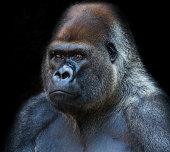 Portrait of a Silverback Gorilla on black