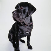 Portrait of a Sitting Mastiff Looking to the Side
