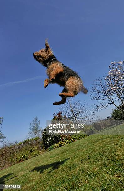 Portrait of a small dog jumping in midair on a sunny Spring day taken on March 29 2012