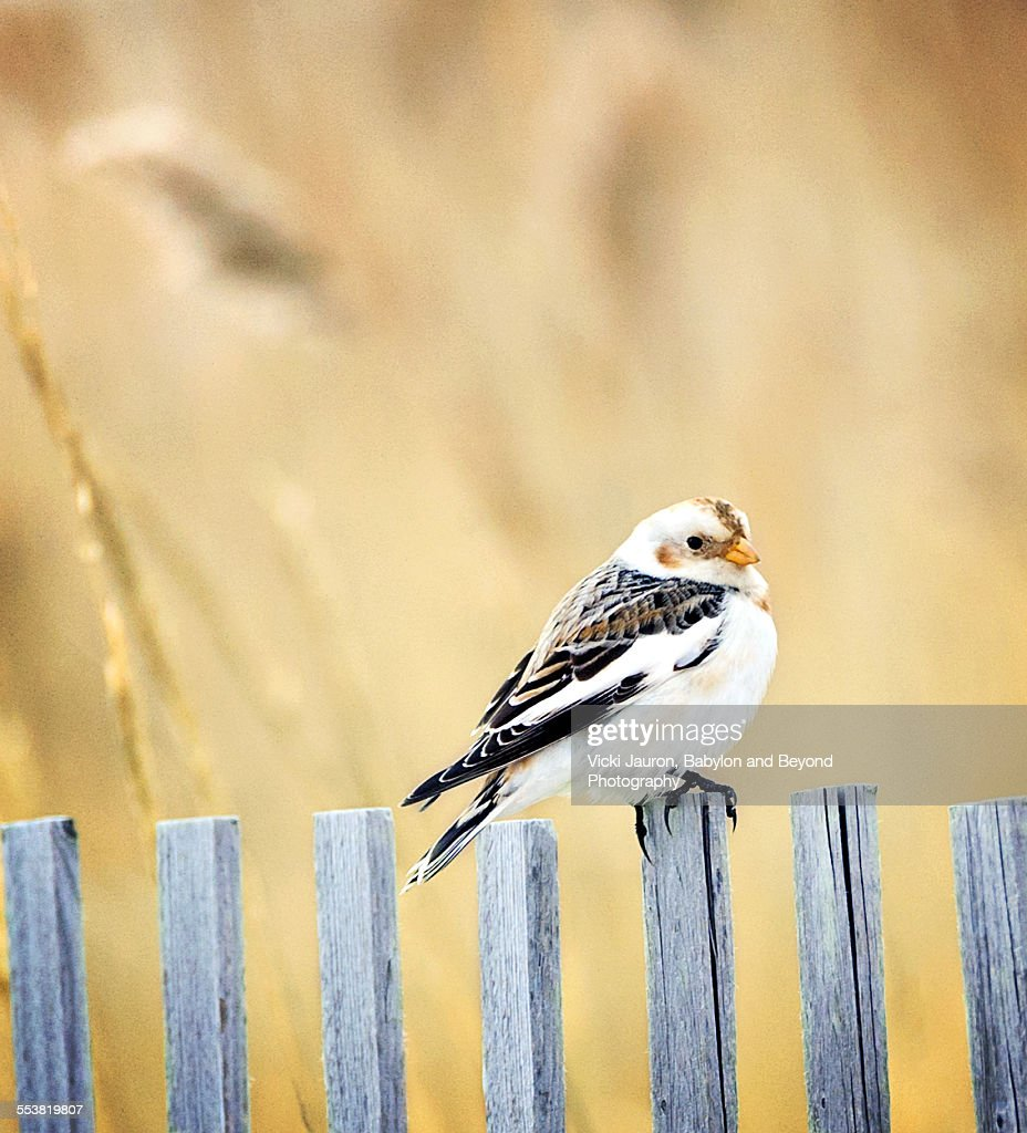 Portrait of a Snow Bunting at Jones Beach West End