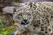 Portrait of a snow leopard, Uncia uncia