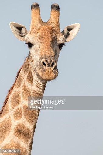 Portrait of a southern giraffe (Giraffa giraffa)