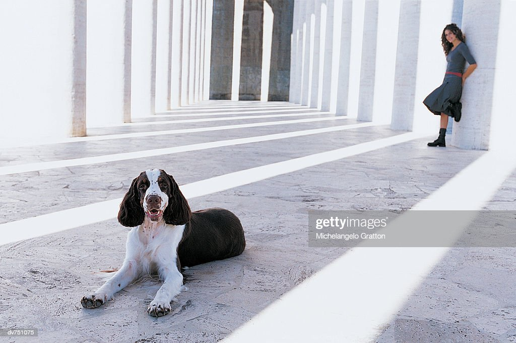 Portrait of a Springer Spaniel With Its Owner in the Distance : Stock Photo