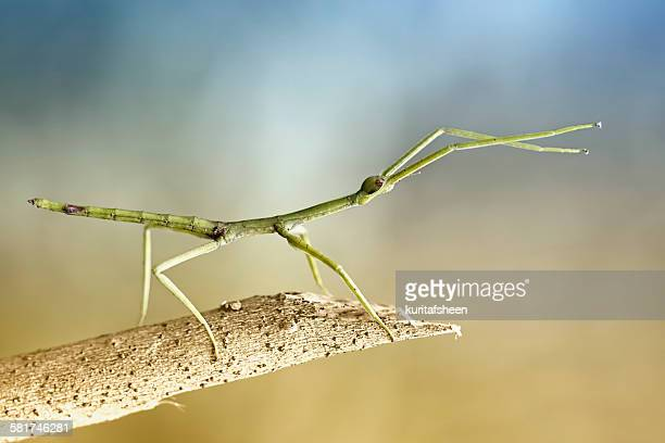 Portrait of a stick insect (phasmatodea) on a branch