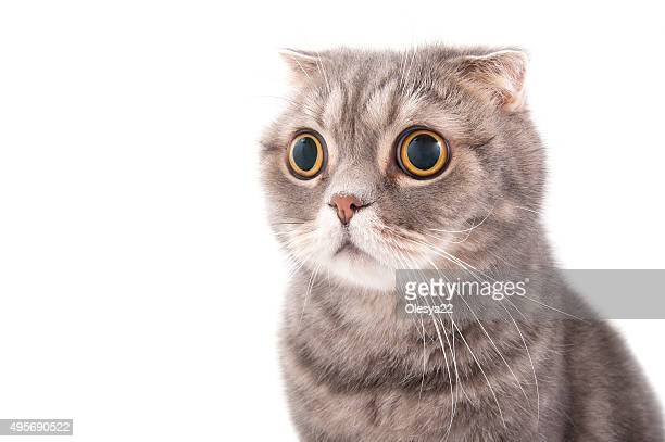 Portrait of a surprised cat breed Scottish Fold. Studio photography on a white background.