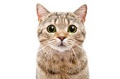 Portrait of a surprised cat Scottish Straight closeup. Isolated on white background