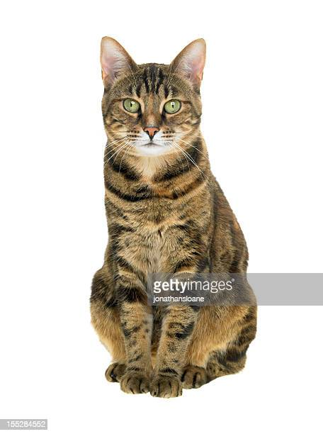 Portrait of a tabby cat on white background