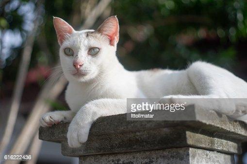 portrait of a thai cat has sitting on pillar : Bildbanksbilder