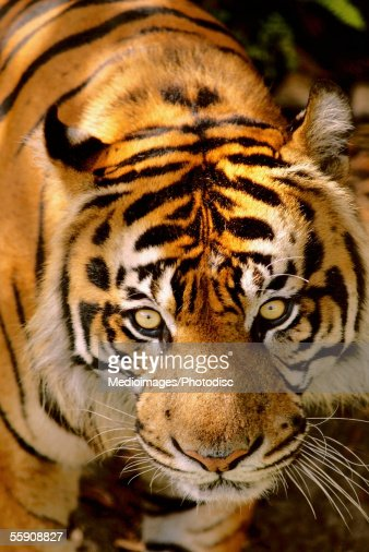 Portrait of a tiger : Stock Photo