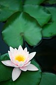 Portrait of a Water Lily (Nymphaea capensis rosea) in a Pond