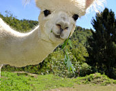 A portrait of a white curious alpaca eating in summer.