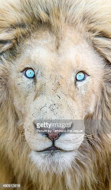 Portrait of a white lion