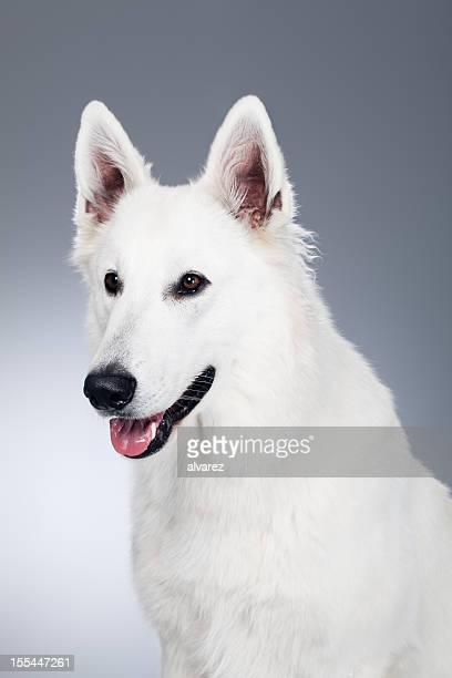 Retrato de um Cão pastor branco