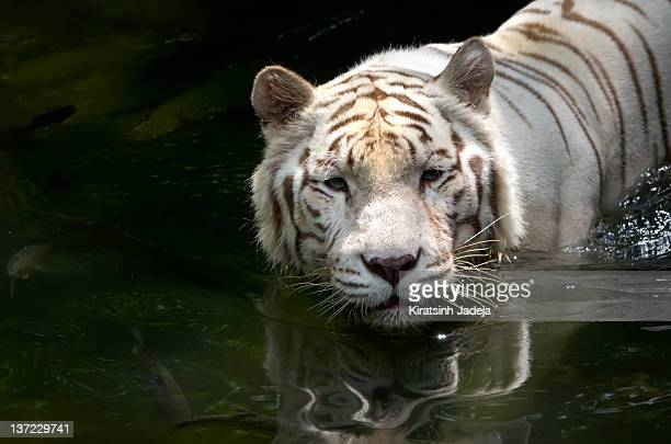 Portrait Of A White Tiger Swimming In The Water