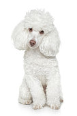 White toy poodle sits on a white background  [URL=http://www.istockphoto.com/search/lightbox/8586584/][IMG]http://photofile.ru/photo/fotojagodka/115802858/large/138343646.jpg[/IMG][/URL]