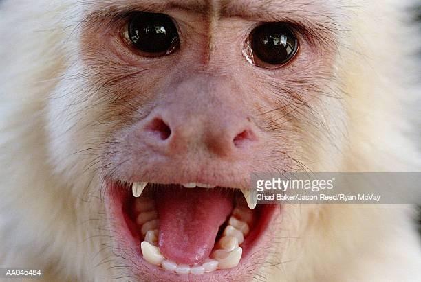 Portrait of a White-Throated Capuchin Monkey