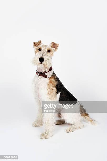Portrait of a wire haired Fox Terrier dog