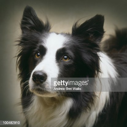 Portrait of a working border collie dog