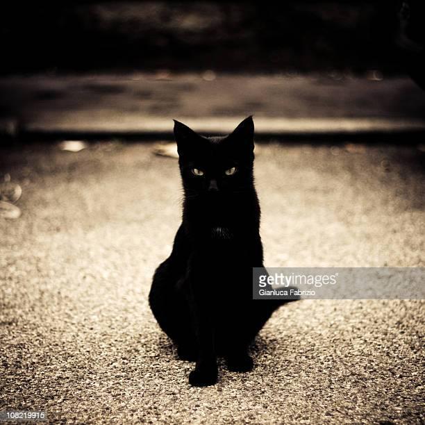 Ritratto di un giovane gatto nero