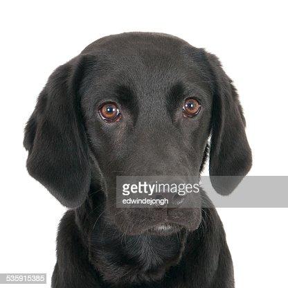 Retrato de um jovem labrador preto : Foto de stock