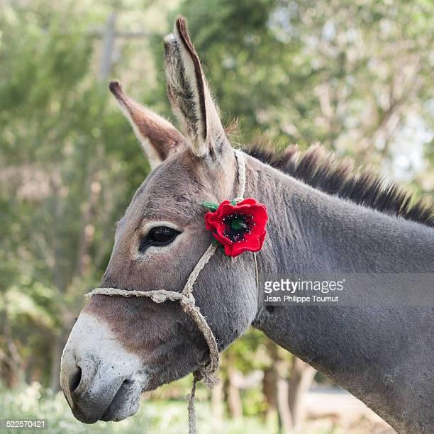 Portrait of a young Kyrgyz donkey