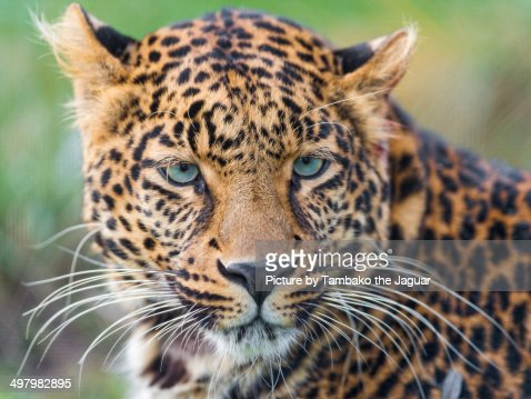 Portrait of a young leopard
