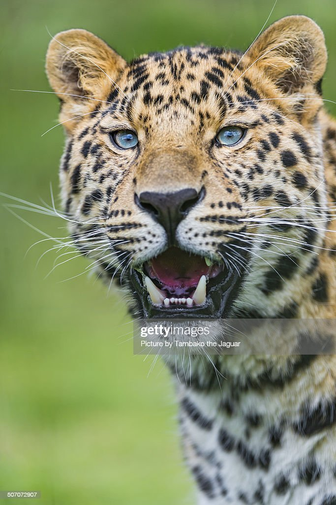 Portrait of a young leopard
