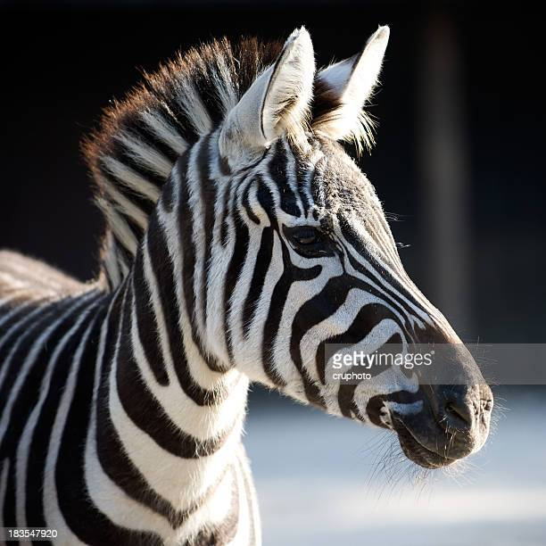 Portrait of a young zebra with a striped mane