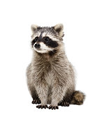 Portrait of adorable raccoon Isolated on white background