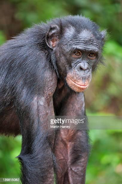 Portrait of adult Bonobo (Pan paniscus). Mainly eat fruit but also small animals, eggs and earthworms. Sanctuary Lola Ya Bonobo Chimpanzee, Democratic Republic of the Congo