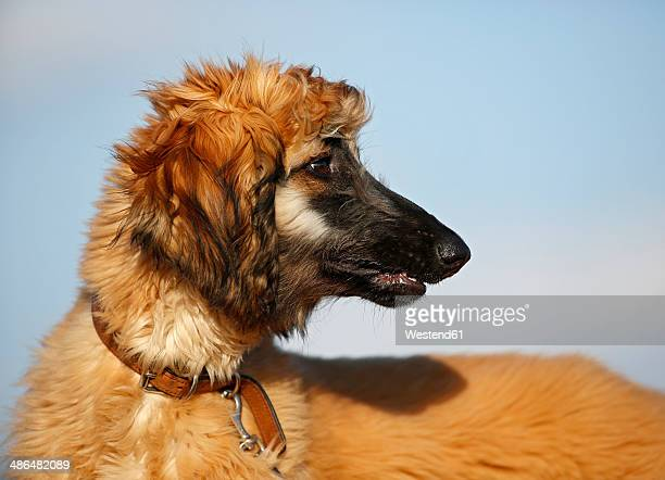 Portrait of afghan hound in front of sky, puppy