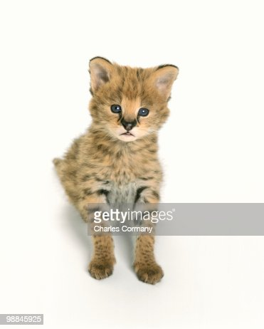 Portrait of African Serval kitten : Stock Photo
