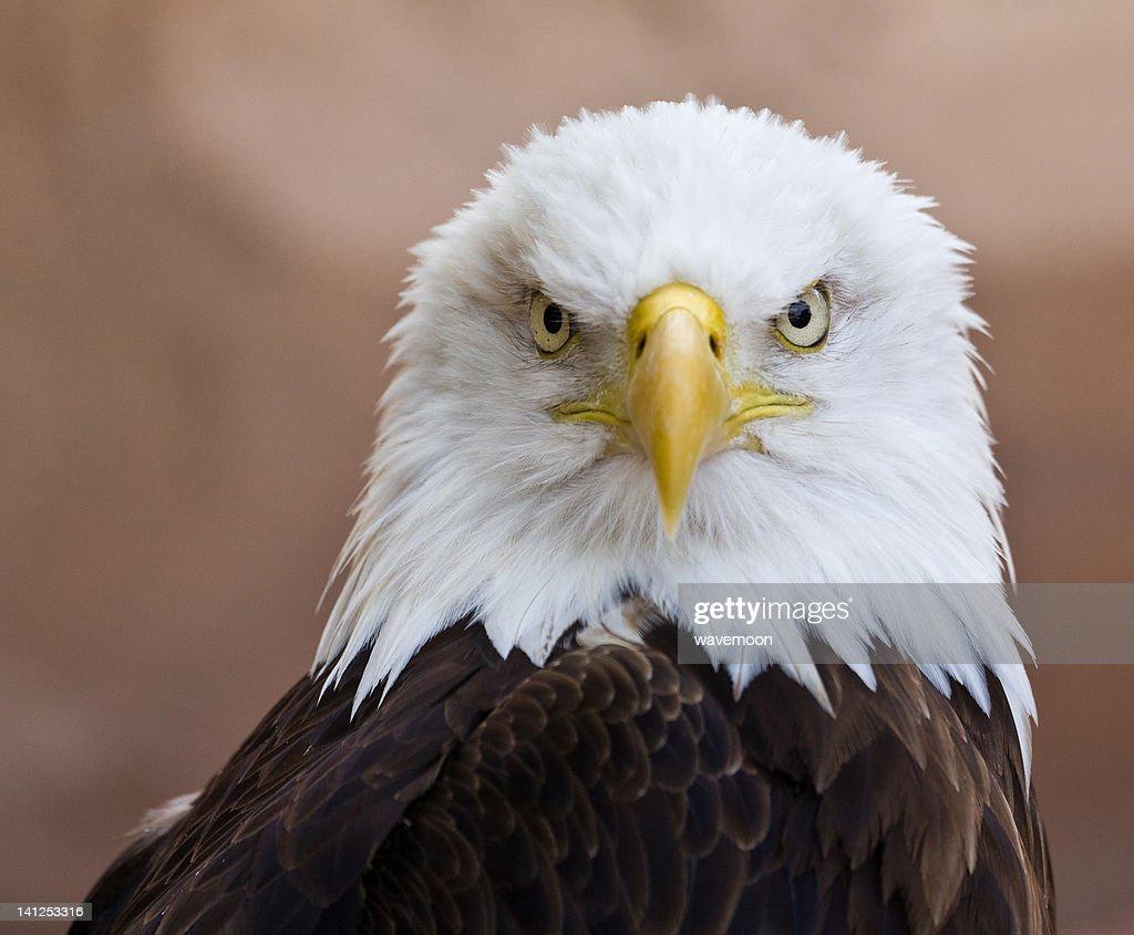 Portrait of Aguila Americana : Stock Photo