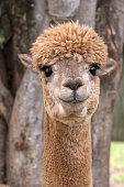 Portrait of alpaca near trees