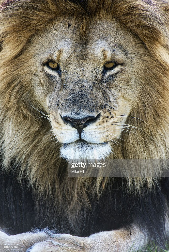 Portrait of an adult male lion ( Panthera leo) : Stock Photo