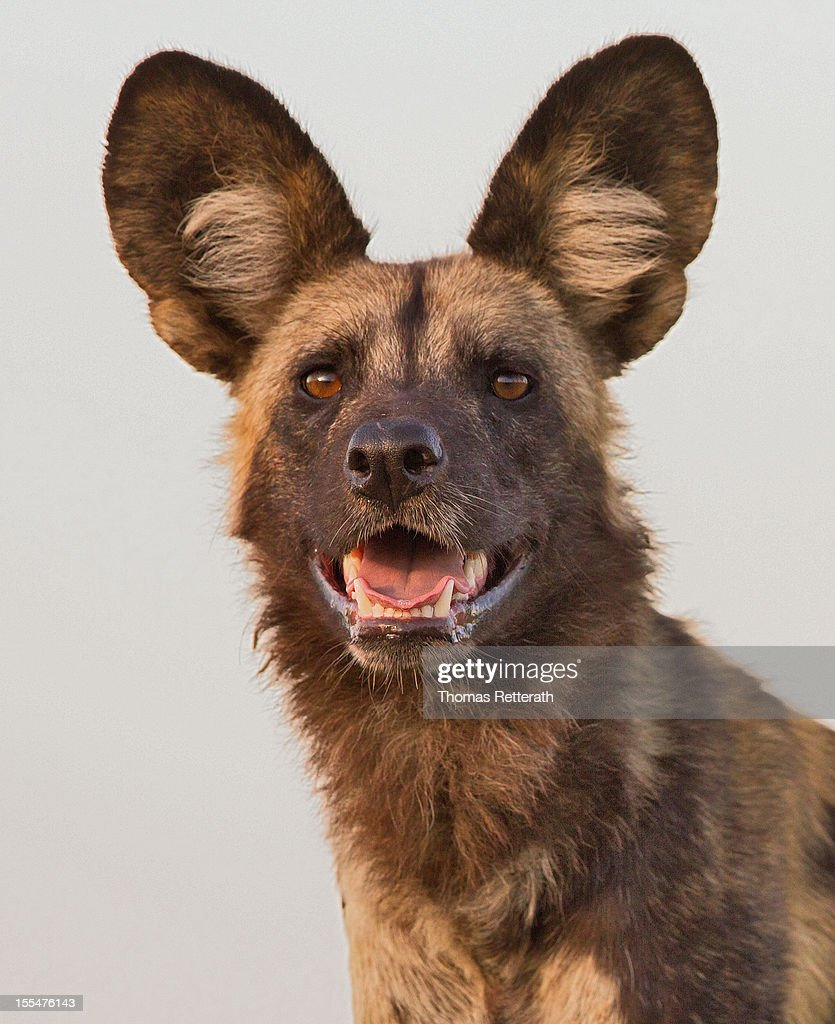 Portrait of an African Wild Dog : Stock Photo