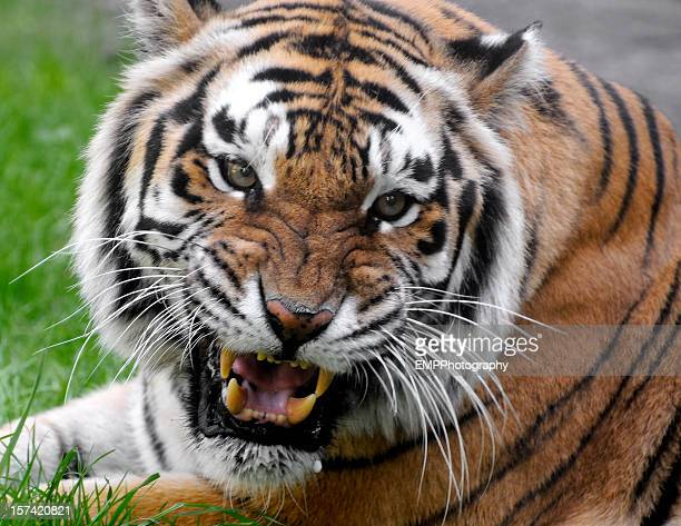 Tiger Face Teeth Stock Photos and Pictures | Getty Images