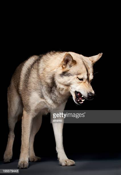 Portrait of an agressive dog