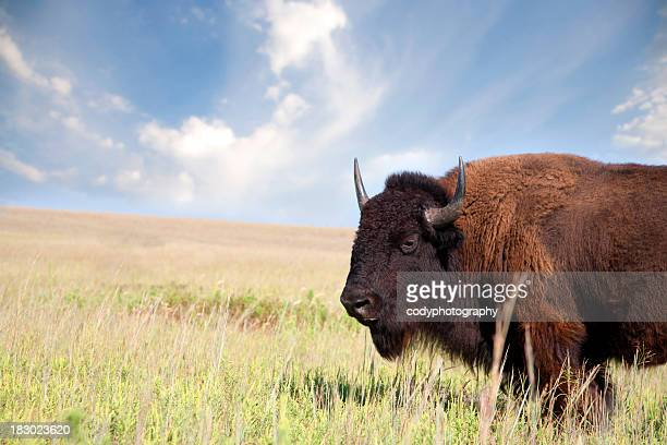 Portrait of an American Bison on the prairie