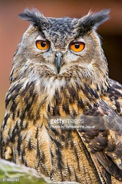 Portrait of an eagle owl