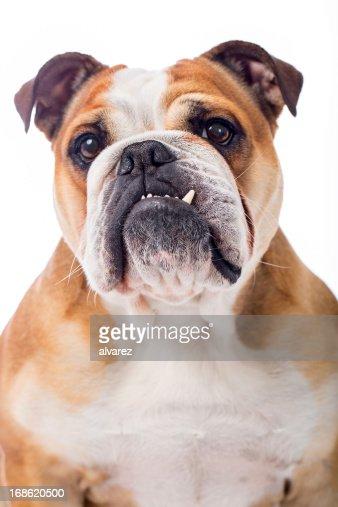 Retrato de um Bulldog inglês