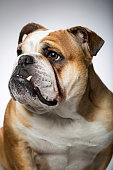 Portrait of an English Bulldog