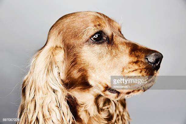 Portrait of an English Cocker Spaniel in front of grey background